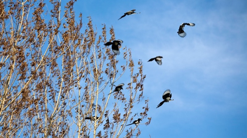 Medlemsblad. Motiv: Flyvende husskader forlader nogle høje piletræer