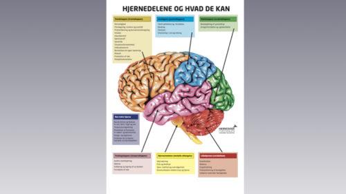 Plakat - hjernedelene og hvad de kan