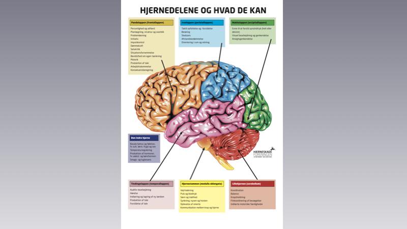 Hjernedelene og hvad de kan