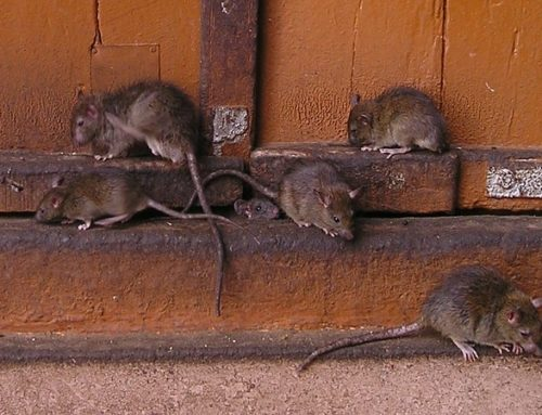 At have rotter på loftet og bier i væggen